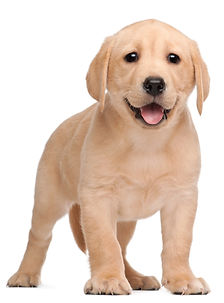 labrador-puppy-7-weeks-old-in-front-of-w