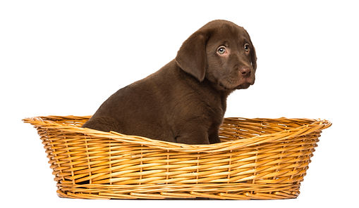 labrador-retriever-puppy-sitting-in-a-wi