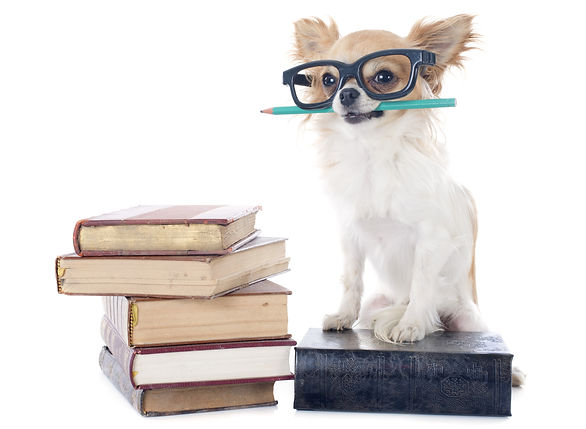 chihuahua and books in front of white ba