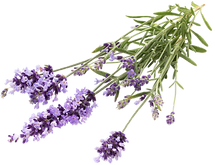 lavender-flowers-97G82VN_edited_edited.p