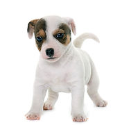 puppy-jack-russel-terrier-PCUPVGQ_edited
