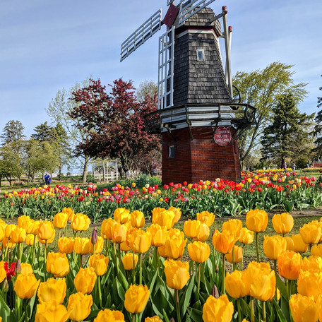 6 Million Tulips in a Day: Holland, Michigan