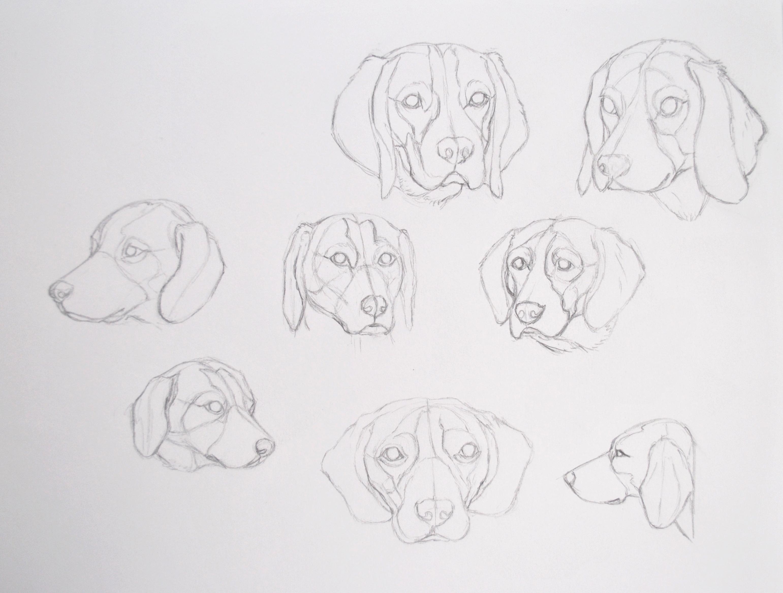 esquisses d'un Beagle