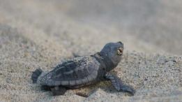 Новорожденный черепашки на Закинтосе
