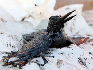 Спасенная птица становится символом разлитой нефти в Греции