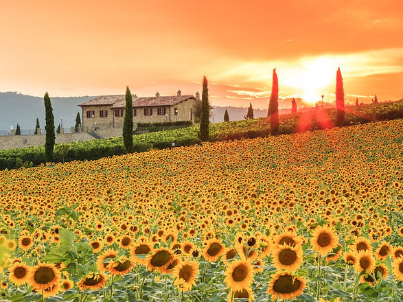 small-group-tours-italy-sunflowers-in-um