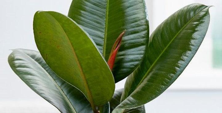Ficus Elastica (Rubber Leaf)