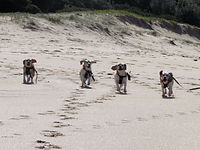 Beagle Beach Day
