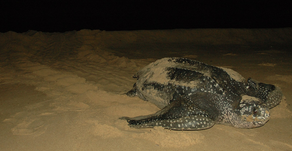 Preview Round Donation:   Ghana Sea Turtle Research and Conservation Program