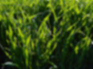 Cereal Rye 2a.jpg