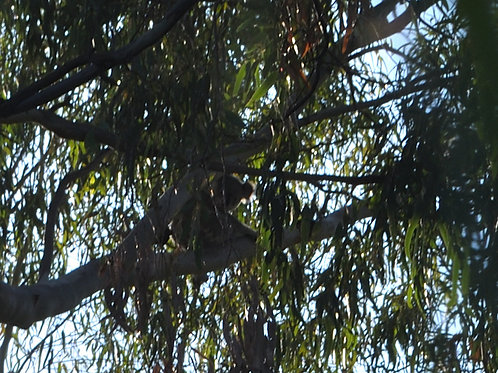 Wild Koala Bear in Moree