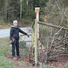 Saving the fence from the rose bush