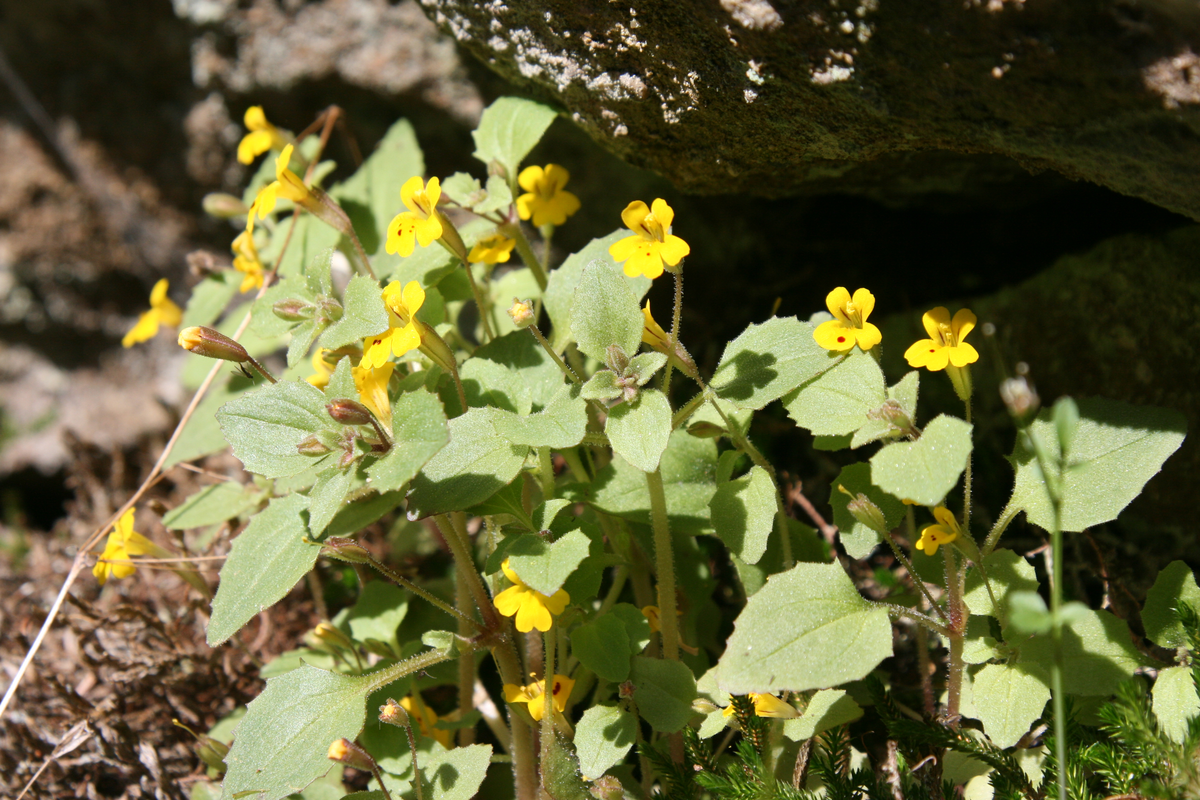 Mimulus Moore Hill 4-6-2015 2-57-07 AM.JPG