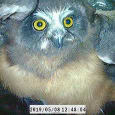 A Saw-whet Owl Found in a Nest Box
