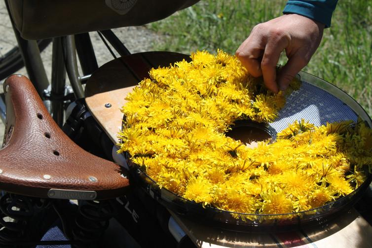 Harvesting Dandelions