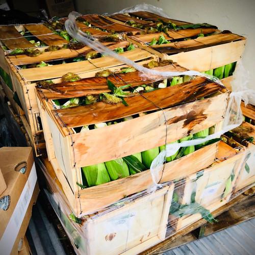 Organic Summer Corn