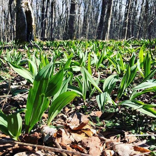 Spring Ramp Field Mountains Of Virginia