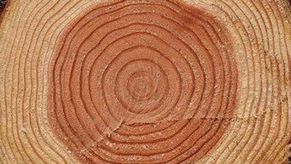 ไม้สนนิวซีแลนด์เติบโตเร็วและมีเนื้อไม้อ่อน