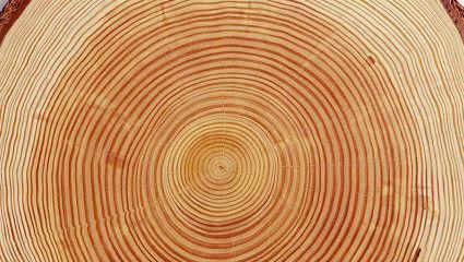 ไม้สนรัสเซียมีวงปีไม้มากกว่า