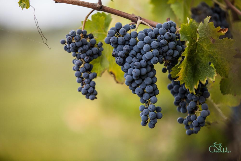Montefalco Sagrantino Grapes