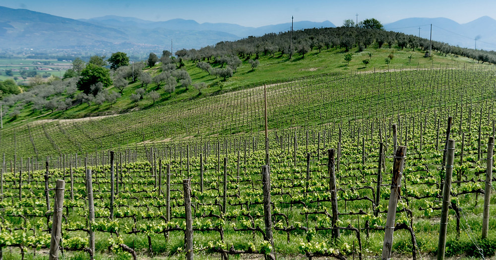 Sagrantino Vineyards in Torre del Colle Bevagna