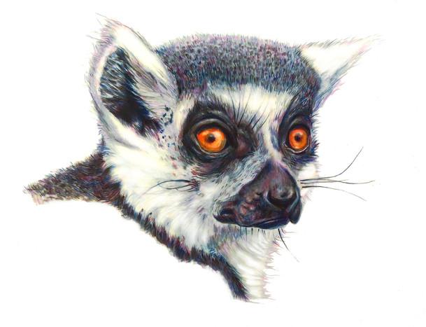 Lemur_colored pencil.jpg