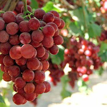 Red Golbes Grapes (seeds)