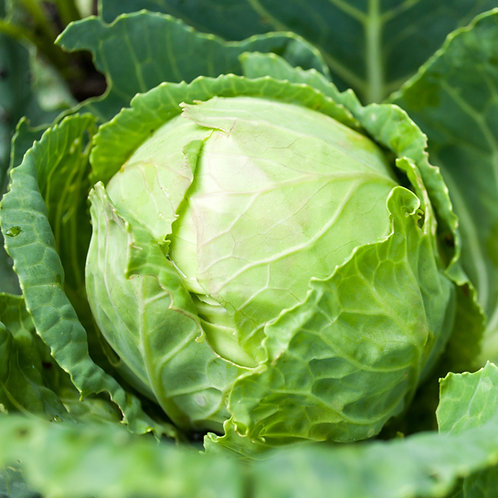 Certified Organic Green Cabbage