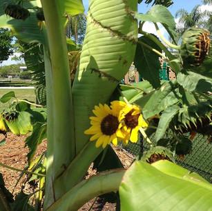 Sunflowers & Banana Tree