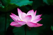 Lotus_flower_(978659).jpg