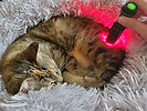 Cat sleeping while undergoing photobiomodulation and photonic light therapy