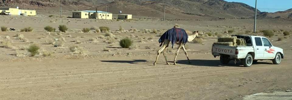 Honey did you walk the camel?