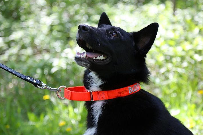 martingale-dog-collar-in-australia