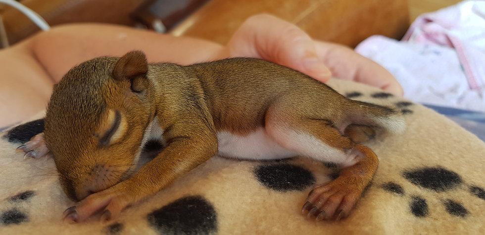 Squirrel_asleep.jpg