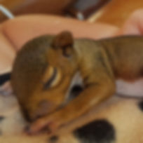 Orphan_Squirrel_at_Acorn_Wildife_Rescue.jpg