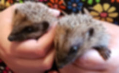 rescue hedgehogs.jpg