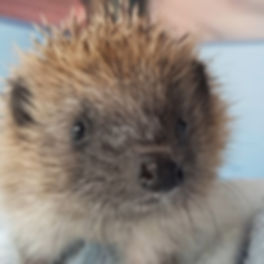 hedgehog_face_at_Zoes_Wildlife_Rescue_ed