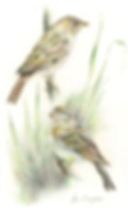 Jim Grogan,Chipping Sparrows, wildlife artist