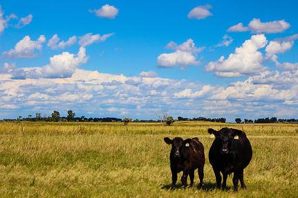 cow&calf (1 of 1).jpg