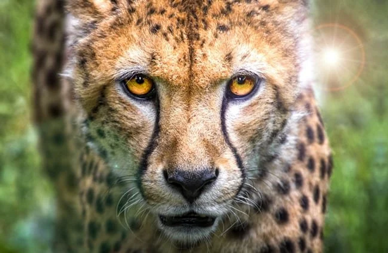 Cheetah face.png