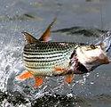 Tiger fish.jpg