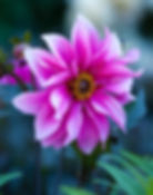Pink dahlia fascintion flower.jpg