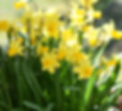 A clump of daffodils