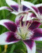 asian lily patricias pride flowers