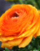 ranunculus-orange-bulbs.jpg