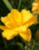 Daylily condilla double yellow