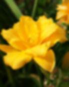 Lily condilla double daylilies yellow fl