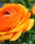 orange ranunculus (persian buttercup)