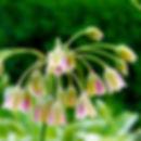 Close up of Allium bulgaricum