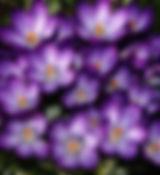 Barr's Purple crocuses